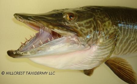 Tiger Muskie - close up