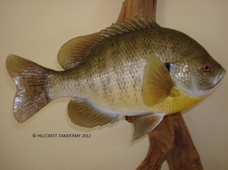 Female Bluegill Replica