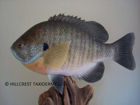 Male Bluegill Replica